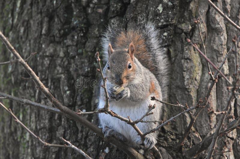 Ekorre i en tree royaltyfri foto