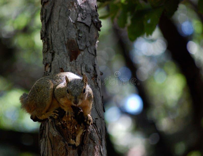Ekorre i en tree royaltyfria foton