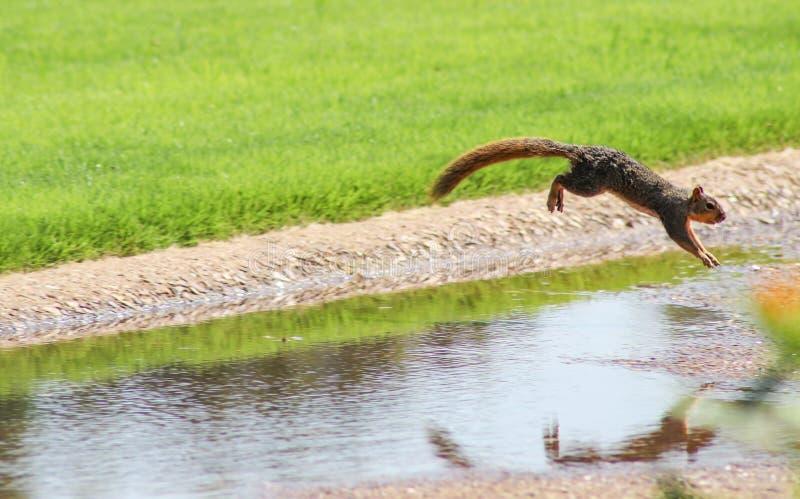 Ekorre i rörelse - ekorren som hoppar över ett dike i en parkera - som fångas i mitt- luft arkivfoto