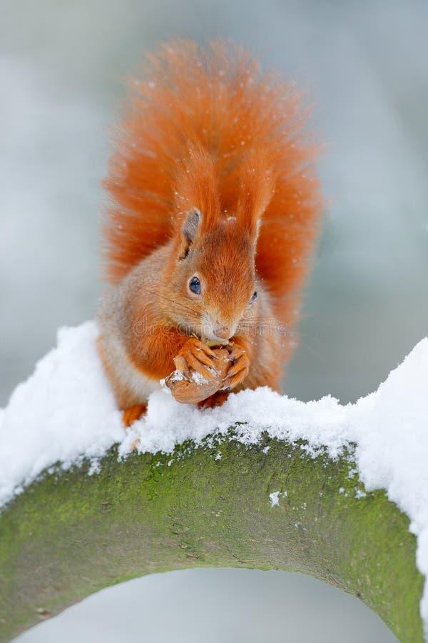Ekorre med den stora orange svansen Matande plats på trädet Den gulliga orange röda ekorren äter en mutter i vinterplats med snö, arkivfoton