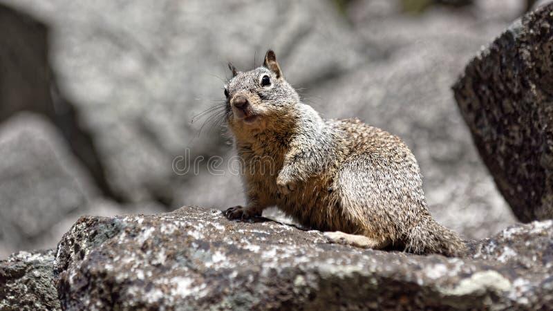 Ekorre på den Yosemite dalen royaltyfria bilder