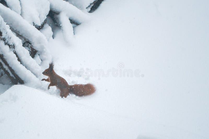 Ekorre på en vinterdag i en parkera i snön arkivbilder
