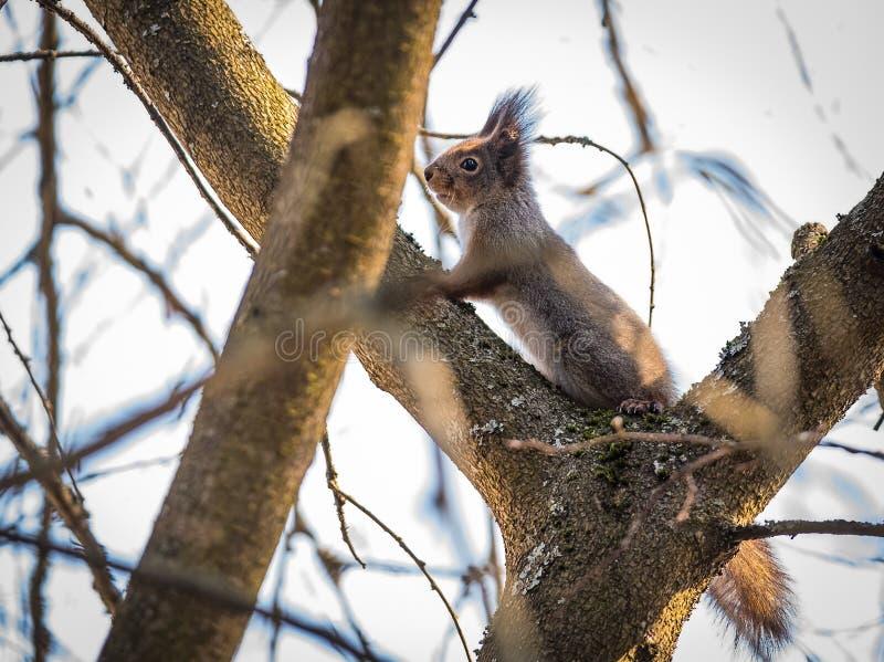 Ekorre på skogen för träd på våren royaltyfria foton