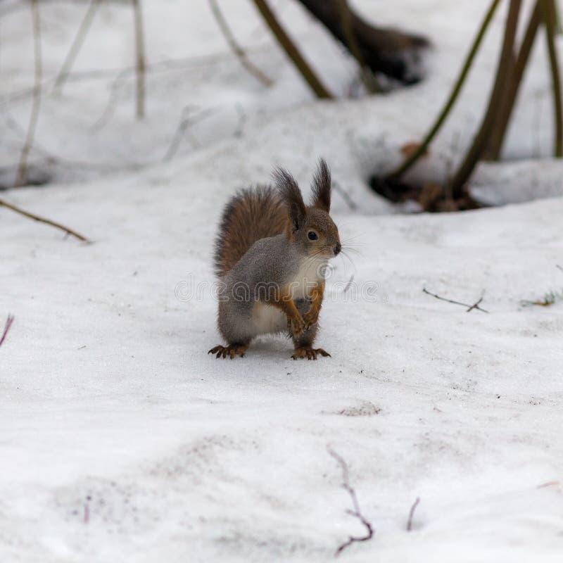 Ekorre på snowen fotografering för bildbyråer