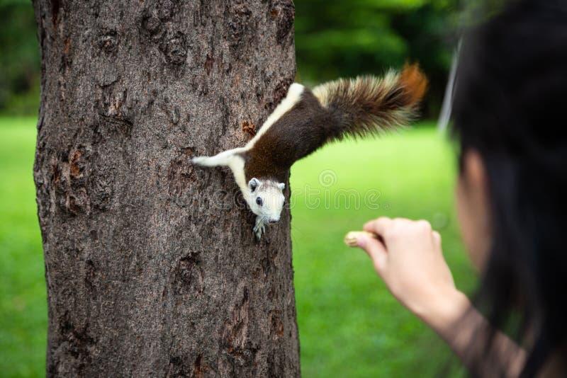 Ekorre som in äter muttern ut ur flickahanden för litet barn, ekorre som är hungrig på trädstammen i naturen, matande vilda djur  arkivbild