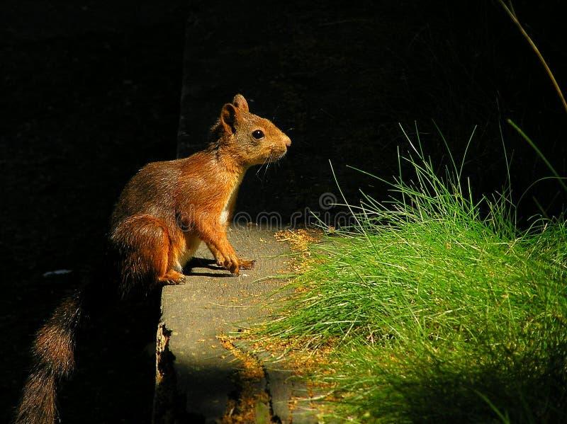 Ekorre som av naturen omges upplyst vid direkt solljus royaltyfri fotografi