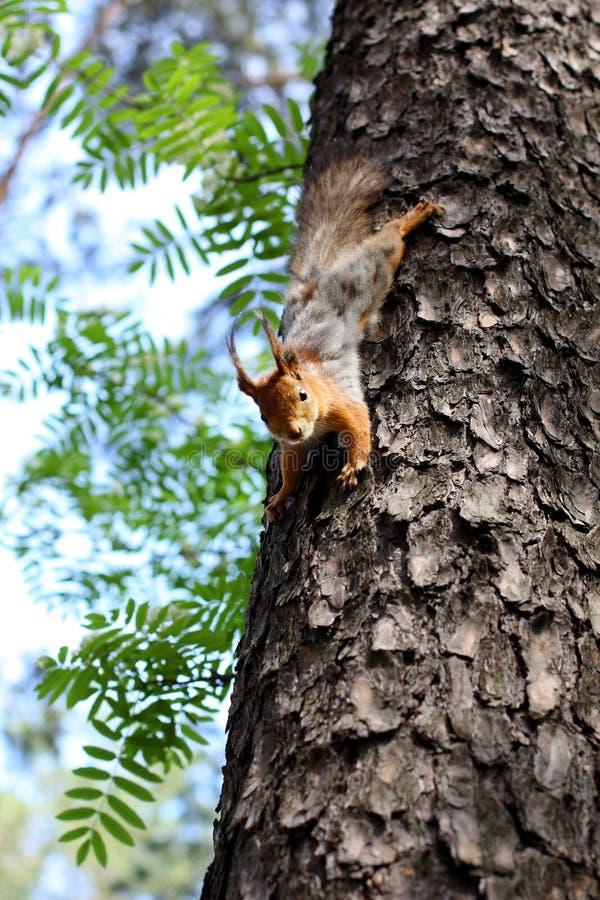 Ekorre som hoppar på ett träd i skogen i sommar fotografering för bildbyråer