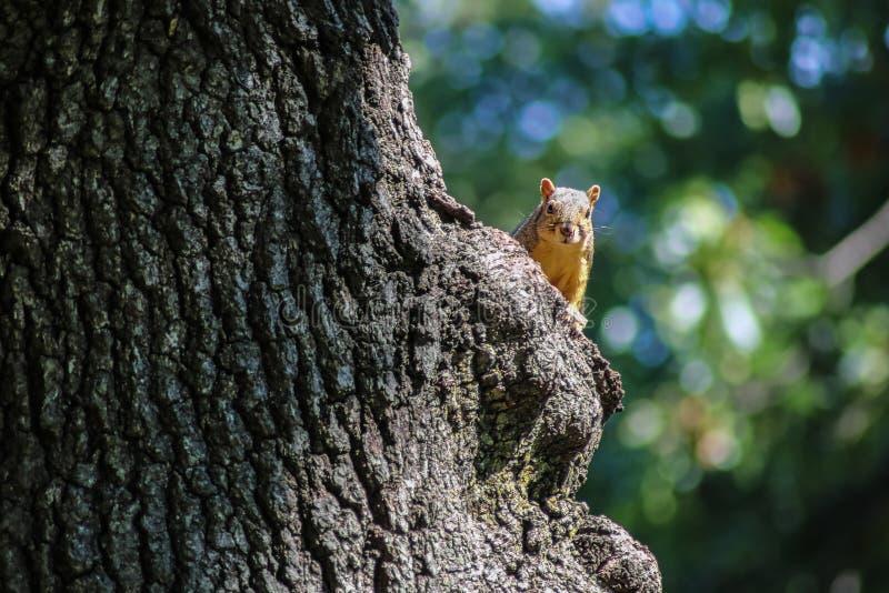 Ekorre som kikar runt om stammen av ett stort träd som ser kameran med grön och blå bokeh bakom fotografering för bildbyråer