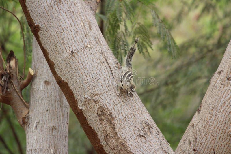 Ekorre som spelar på trädet arkivfoton