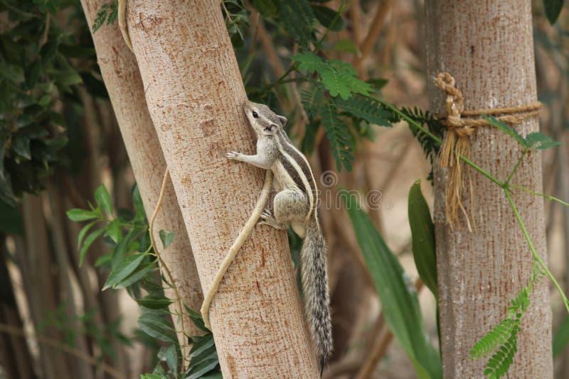 Ekorre som spelar på trädet fotografering för bildbyråer