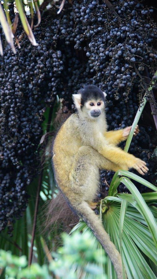 Ekorreapan gömma i handflatan in fruktträdet i den London zoo arkivfoton