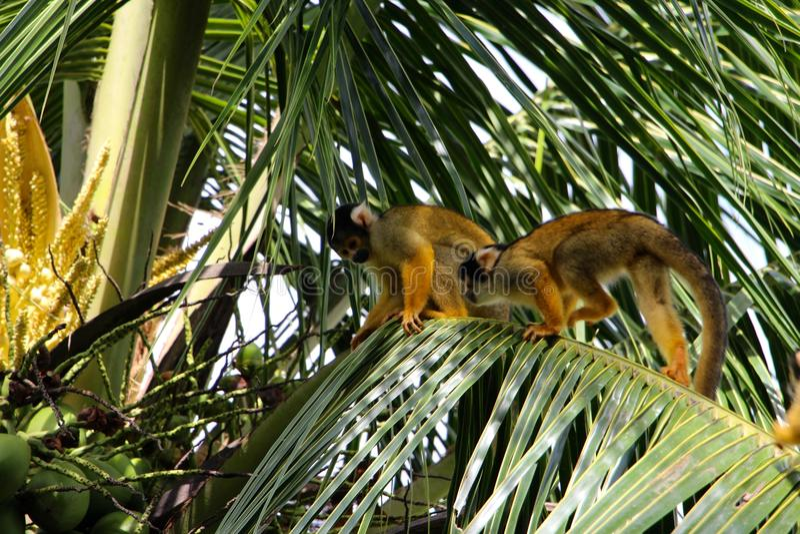 Ekorreapor i den Madidi nationalparken arkivbilder