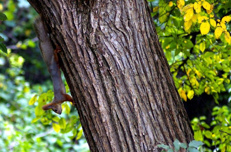 Ekorredjuret fryste på ett stort textural träd på en klar dag i den nya luften arkivfoto