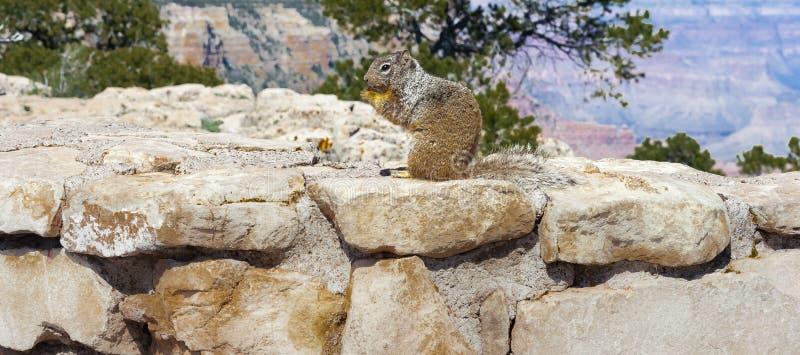Ekorren äter ekollonGrandet Canyon royaltyfria bilder