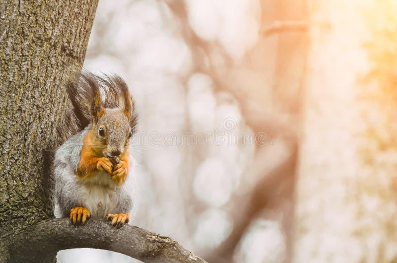 Ekorren äter på en trädfilial i en vårskog royaltyfria foton
