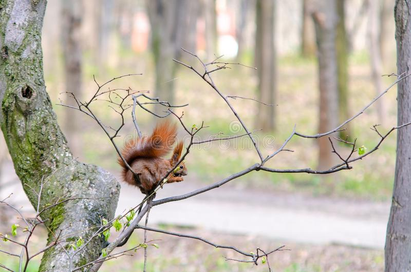 Ekorren gnag en mutter, medan sitta på en trädfilial royaltyfri fotografi
