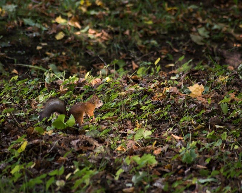Ekorren kör på jordningen med gräs och stupade sidor i skogen fotografering för bildbyråer
