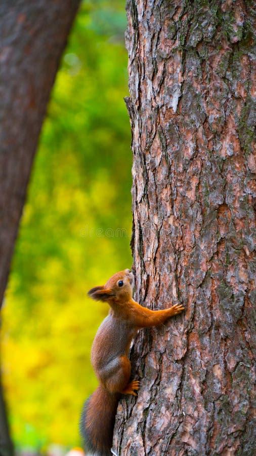 Ekorren sitter på ett träd fotografering för bildbyråer