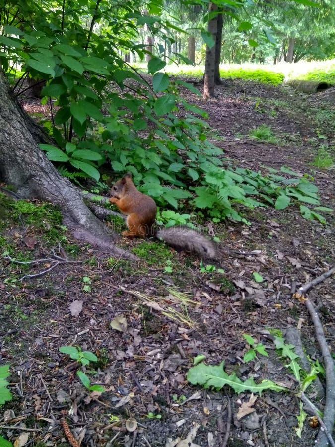 ekorren som sitter vid trädet, rotar och äter royaltyfri bild