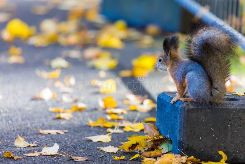Ekorren som spelar i parkera som söker efter mat under den soliga höstdagen royaltyfria bilder