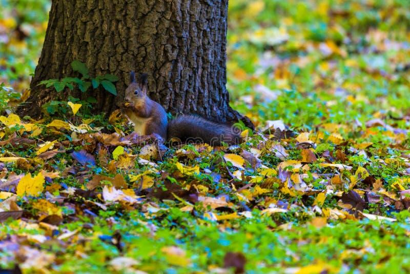 Ekorren som spelar i parkera som söker efter mat under den soliga höstdagen arkivfoto
