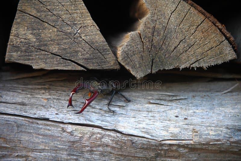 Ekoxe som kryper ut ur dess hideout arkivfoto