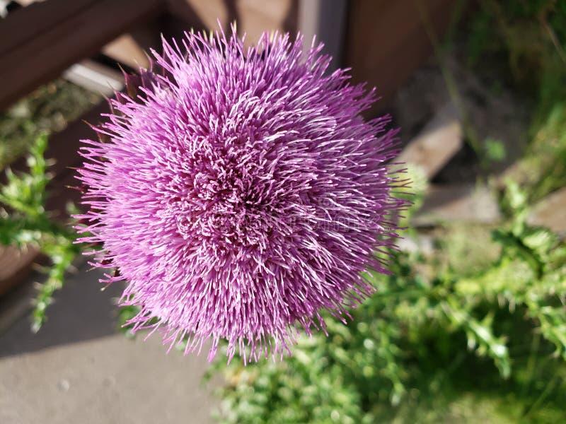 Ekskluzywne purpury zdjęcia stock