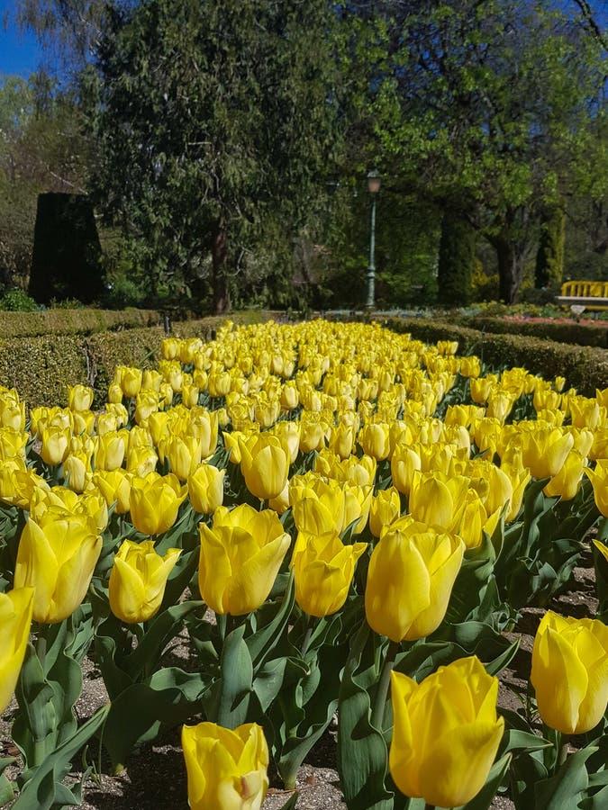 Ekspansywny flowerbed żółci tulipany fotografia royalty free