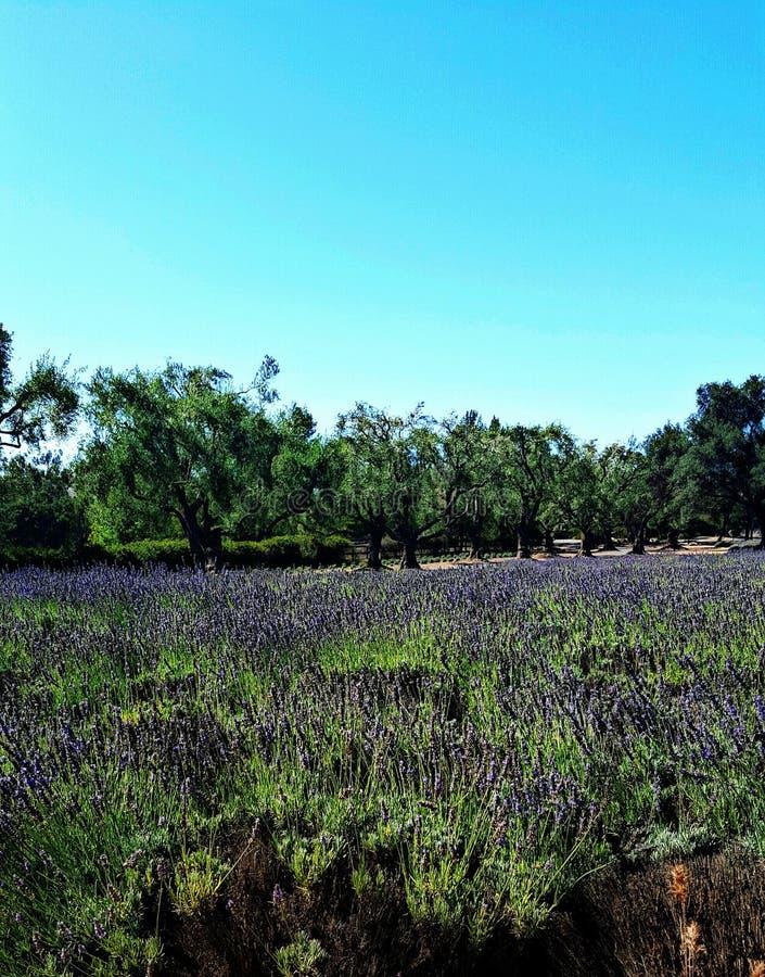 Ekspansywny pole fragrant lawenda blisko Solvang, Kalifornia zdjęcie stock