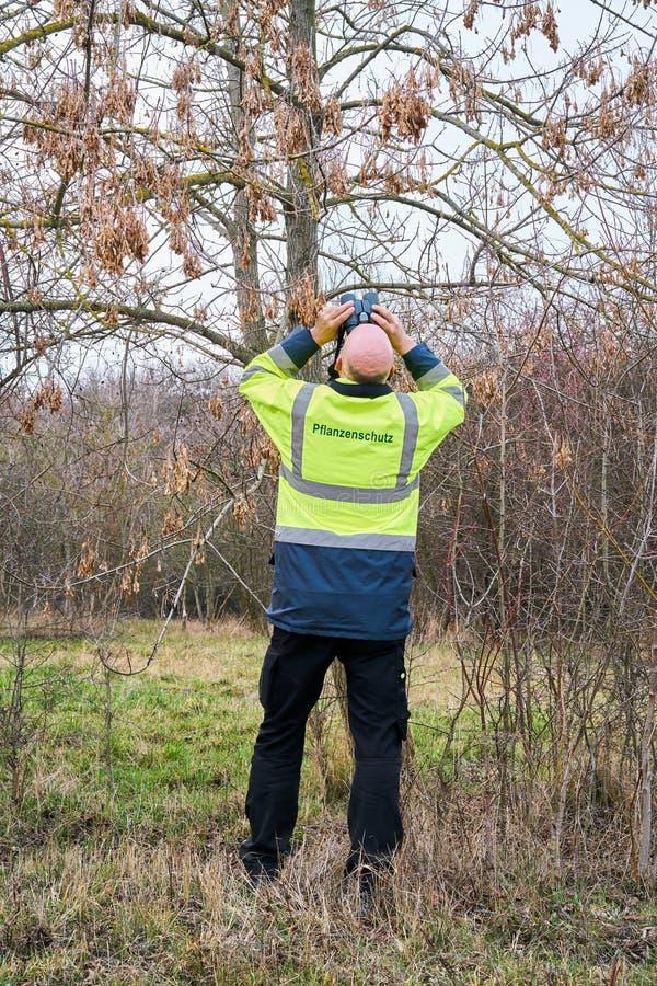 Ekspert podczas egzaminu drzewa dla ewentualnego zarazy infestation azjatą longhorned ścigi zdjęcia royalty free