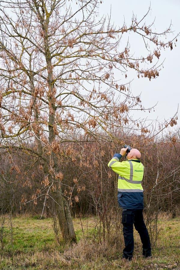 Ekspert podczas egzaminu drzewa dla ewentualnego zarazy infestation azjatą longhorned ścigi zdjęcie royalty free