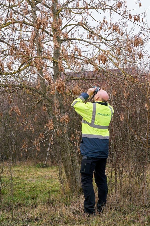 Ekspert podczas egzaminu drzewa dla ewentualnego zarazy infestation azjatą longhorned ścigi fotografia royalty free