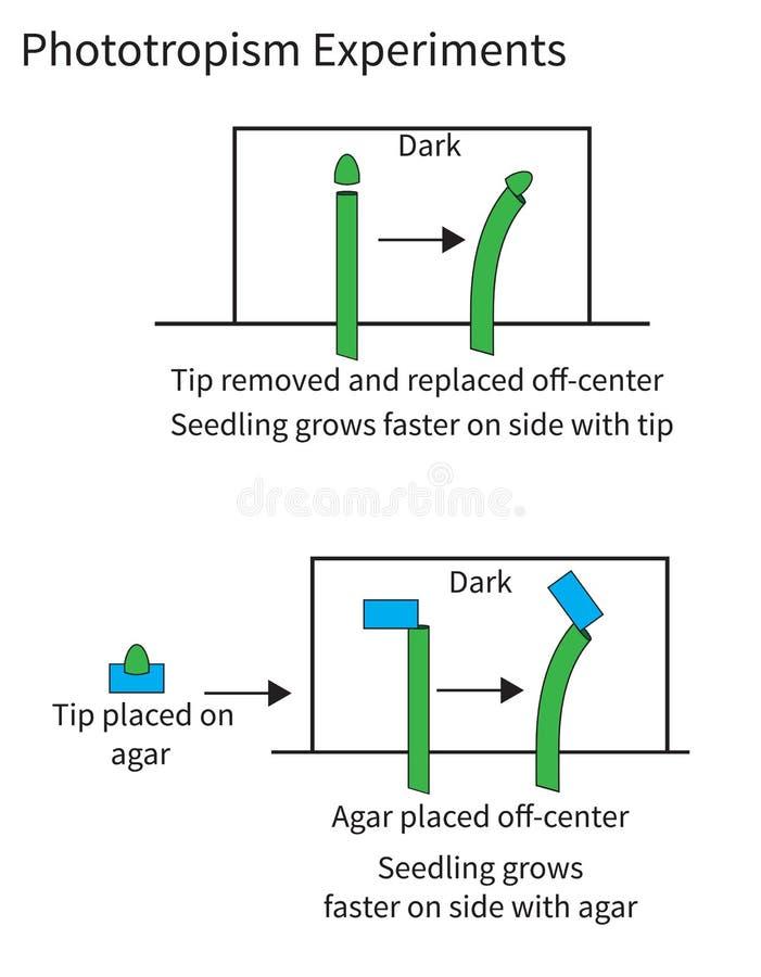Eksperymentuje demonstrować fototropizm w roślinach ilustracja wektor