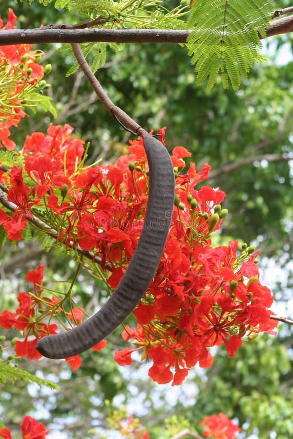 Ekstrawagancki drzewo, Poinciana (Delonix regia) zdjęcia stock