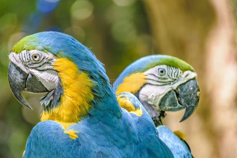 Ekwadorskie papugi przy zoo, Guayaquil, Ekwador zdjęcia royalty free