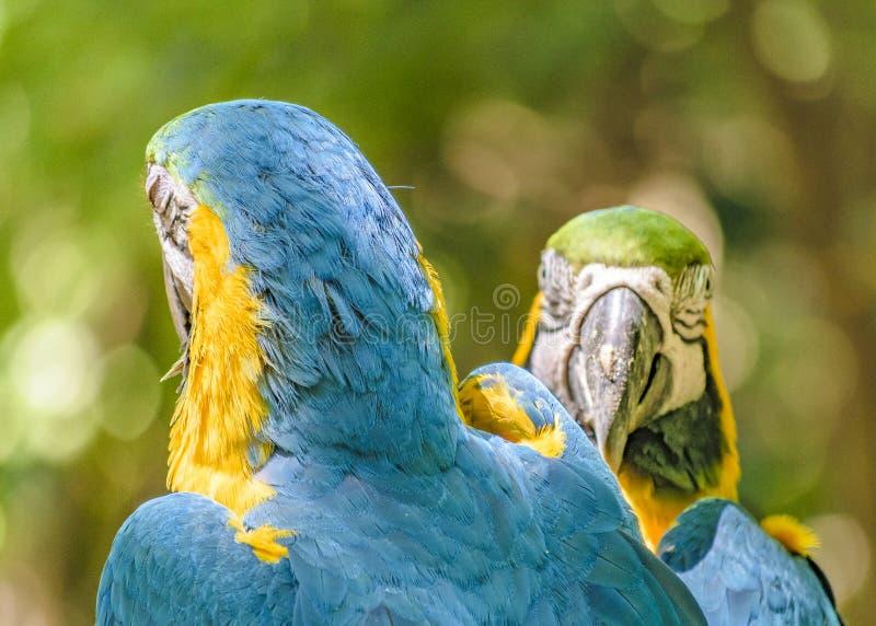 Ekwadorskie papugi przy zoo, Guayaquil, Ekwador fotografia royalty free