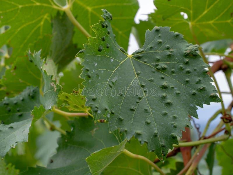El ácaro del erineum de la uva y su irrita Problema del viñedo El top de la hoja parece ampollado Vitis de Colomerus foto de archivo libre de regalías