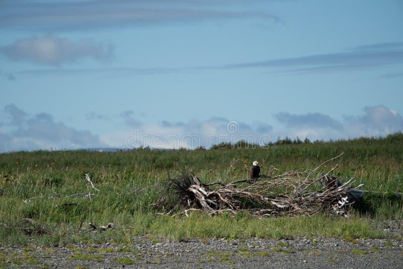 El águila calva americana se sienta encaramado en un pedazo de madera de deriva imagenes de archivo