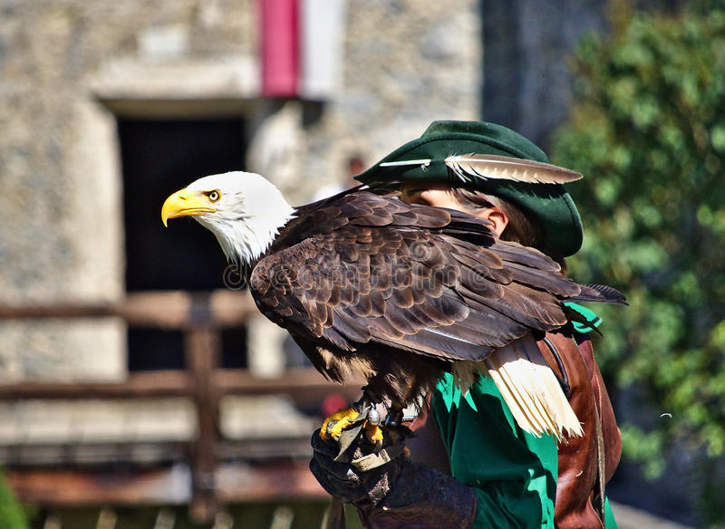 El águila calva se encaramó en su mano del ` s del halconero foto de archivo