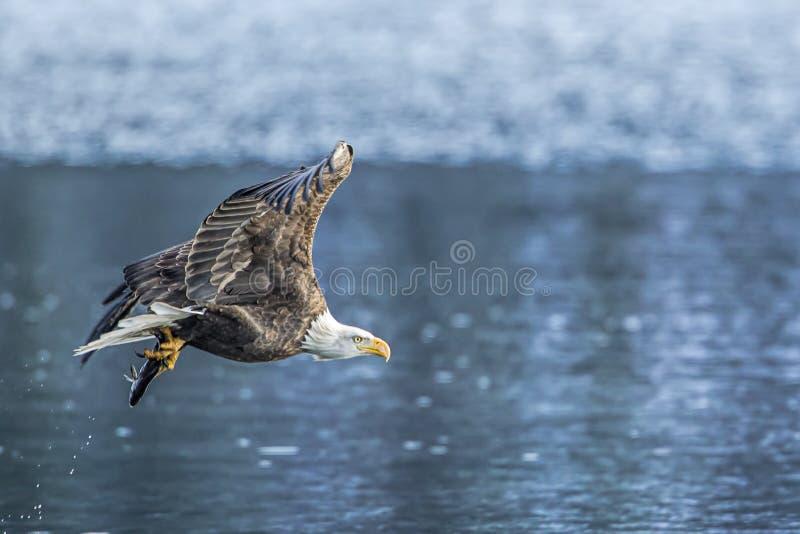 El águila calva vuela apagado con los pescados imagenes de archivo