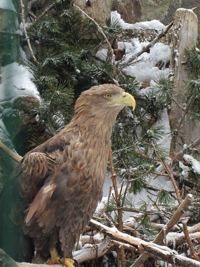 El águila de Тhe se coloca en ramas spruce imagenes de archivo