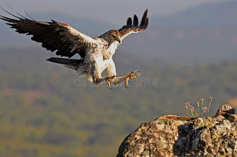 El águila de Bonelli llega su mesonero fotos de archivo