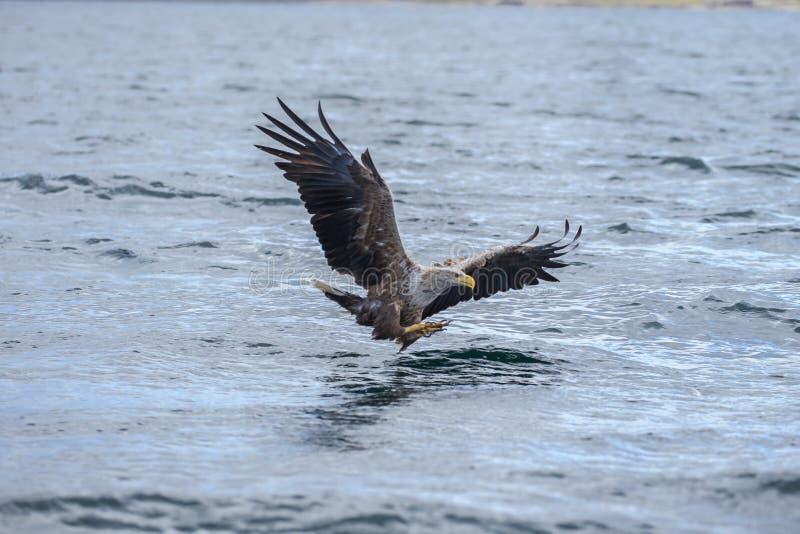El águila de mar blanco-atada que se zambulle para coger un pescado fotos de archivo