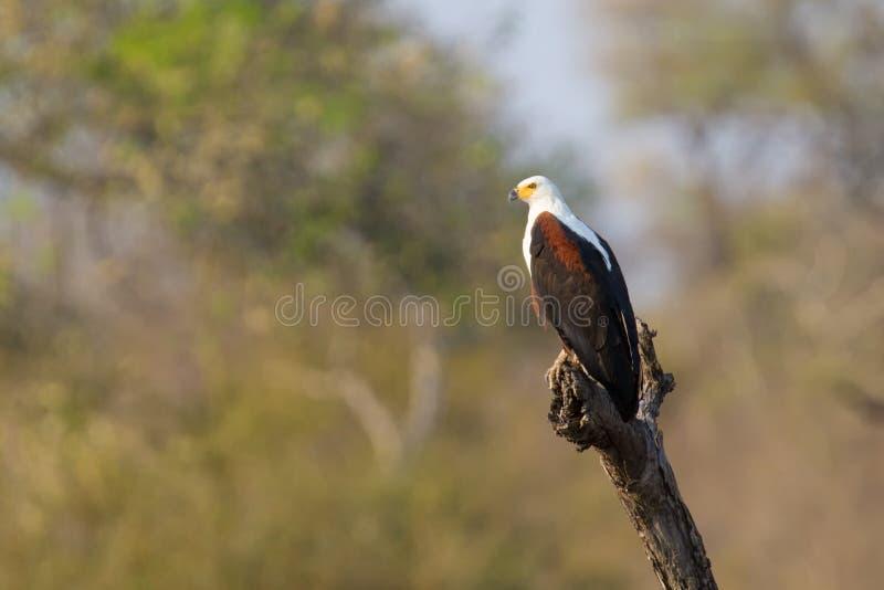 El águila de pescados solitaria mágica se sienta en un árbol en el sol africano fotografía de archivo libre de regalías