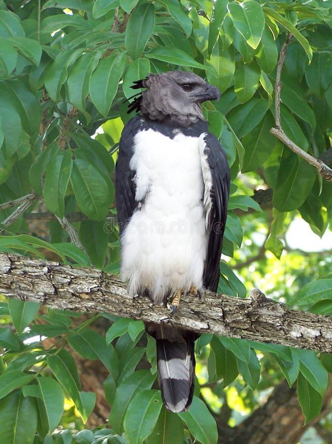 El águila del arpia es una del más grande de su clase imágenes de archivo libres de regalías