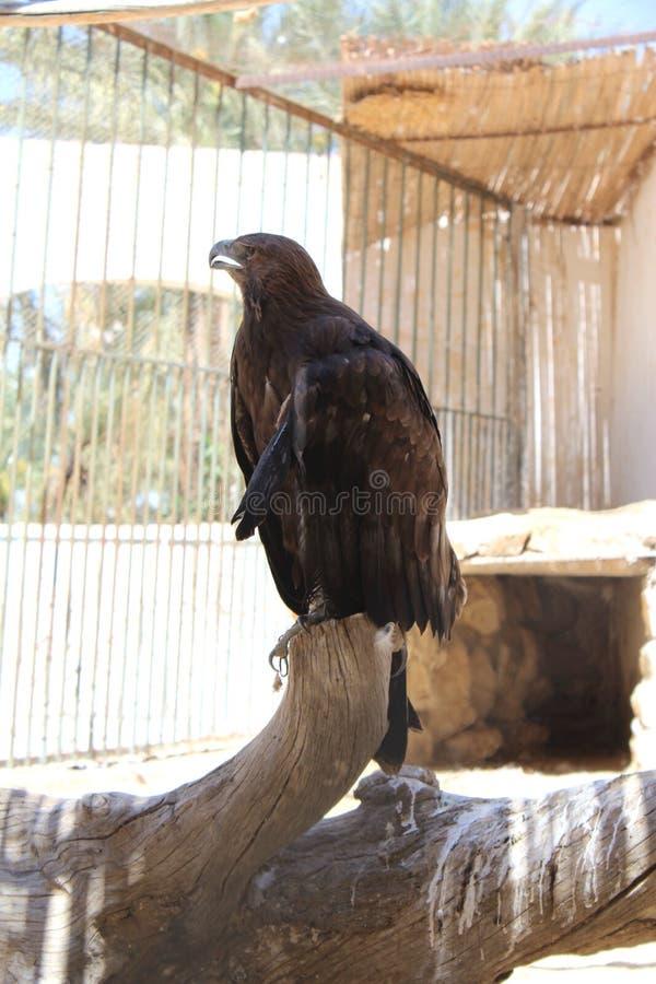 El águila del desierto se sienta en una perca imagenes de archivo