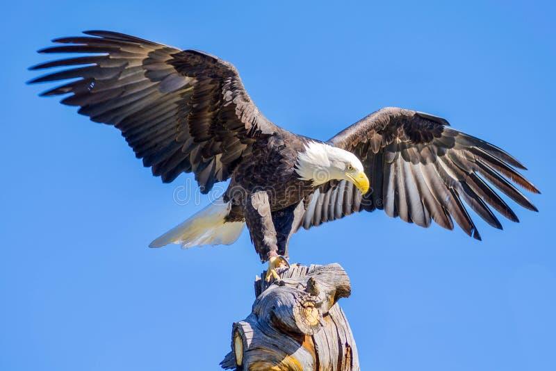 El águila ha aterrizado fotografía de archivo