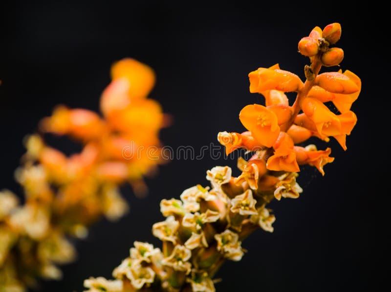 El áloe raro florece en color anaranjado en primer en un jardín botánico en la estación de primavera aislado en fondo negro fotos de archivo libres de regalías