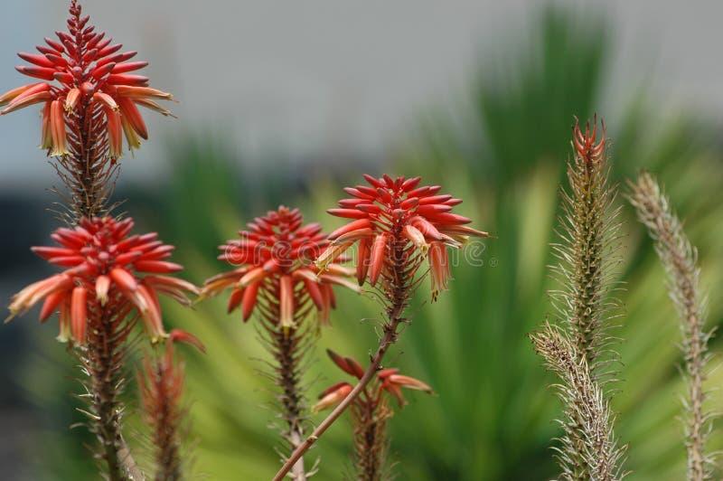El áloe rojo Vera florece en el jardín bajo luz del sol con el fondo borroso foto de archivo libre de regalías