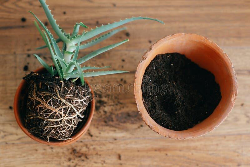 el áloe Vera con las raíces en tierra repot a un pote de arcilla más grande dentro imagen de archivo